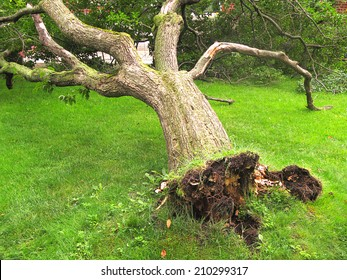 Fallen tree, storm or hurricane damage or concept for tree cutting service ad