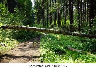 Fallen tree in the summerr forest