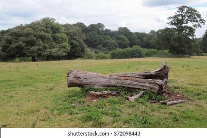 Fallen Tree Trunk in a Field near the Rural Village of Montacute in Somerset, England, UK