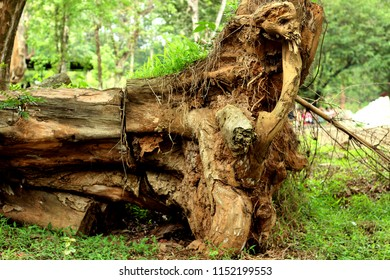 The fallen tree (uprooted tree)