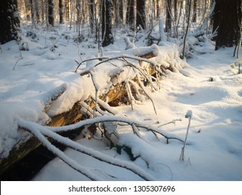 Fallen tree in the winter forest in the morning