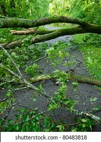 Fallen trees after storm