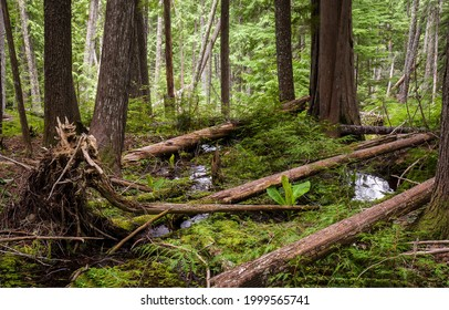 Fallen trees in a backwoods forest. Forest backwoods. Deep forest backwoods. Backwoods forest trees