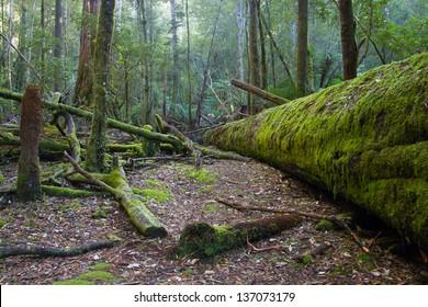Fallen trees covered in moss in Mt Field, Tasmania, Australia