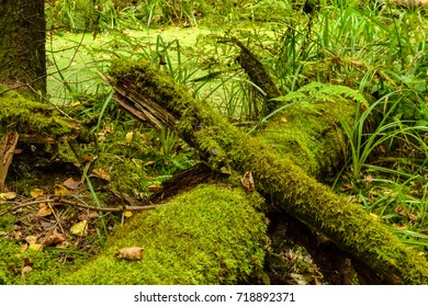 Fallen trees in the forest, covered with green moss. An old forest.