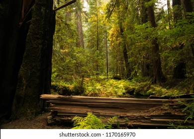 Fallen trees lying on a fern covered floor in a redwood forest in California