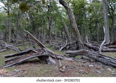 Fallen trees on the shore of Lago Blanco. Chile