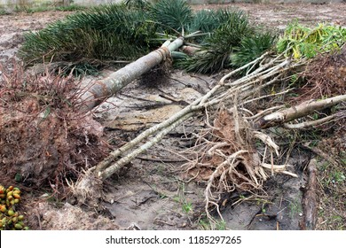 Fallen or uprooted tropical palm trees lying on muddy ground