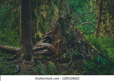 A fallen Western Hemlock tree's roots provide interest on the forest floor of the Hoh Rainforest, part of Olympic National Park on the peninsula of Washington state, United States.
