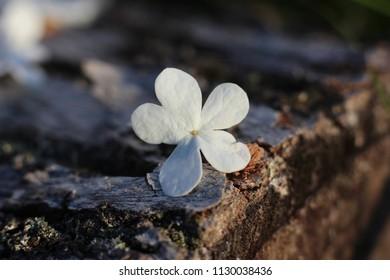 fallen white flowers in the garden