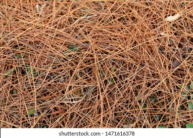 The fallen withered needle-shaped pine leaf cover the ground like a carpet. The concept of autumn, death, or end.