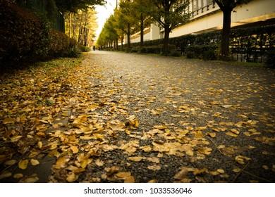 Fallen yellow ginkgo leaves on a street