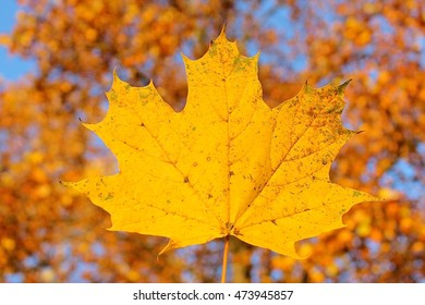 Fallen yellow maple leaf with autumn leaves on trees blurred background