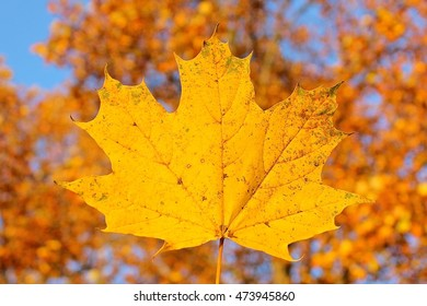 Fallen yellow maple leaf, autumn leaves on trees blurred background