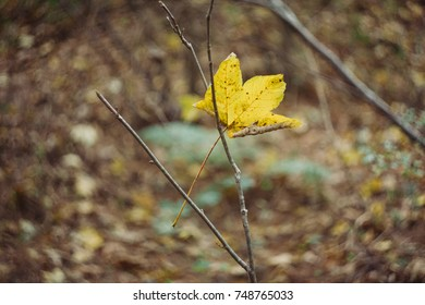 A fallen yellow maple leaf is hanging between some branches