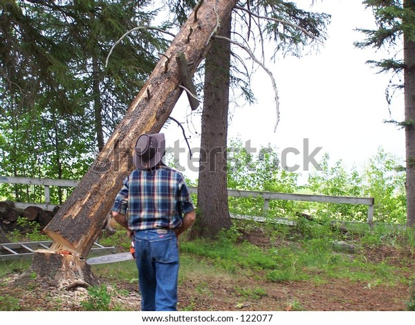 Faller cutting down Pine Tree