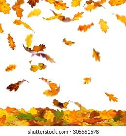 Falling autumn colour oak leaves isolated on white background.