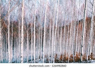 a falling birch