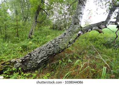 The falling birch is covered with moss. Birch forest in Siberia.