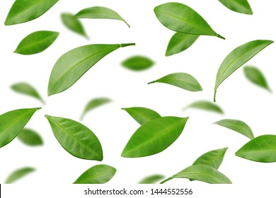 Falling Citrus leaf, lemon, grapefruit, orange, lime, kumquat, isolated on white background, selective focus