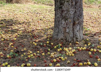 Falling fruits of wild pears