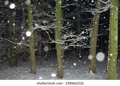 falling snowflakes in the evening forest. Location: Germany, North Rhine-Westphalia, Borken