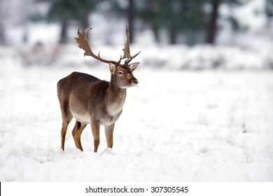 Fallow buck deer in the snow