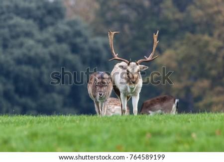 Fallow Buck Doe Walking Across Field Stock Photo Edit Now