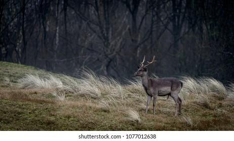 Fallow buck on grazing field