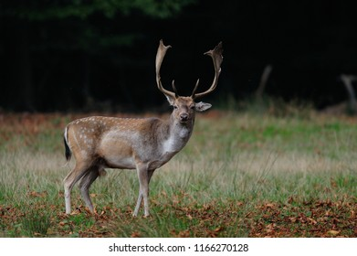 Fallow buck standing on the forest meadow, autumn,  (dama dama)