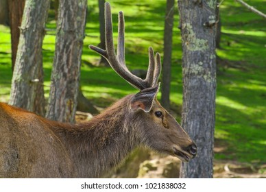 Fallow deer buck in the pine forest close up