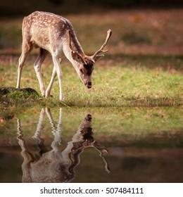 A fallow Deer Buck & Reflection Pool