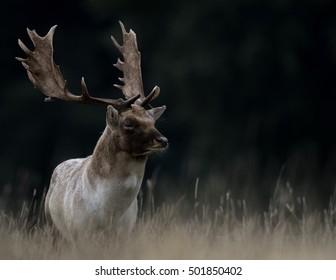 Fallow Deer Buck showing antlers standing in field of golden grass with dark background.