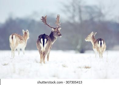 Fallow deer buck in the snow