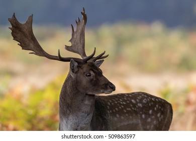 Fallow deer buck standing showing antlers with green bracken background.