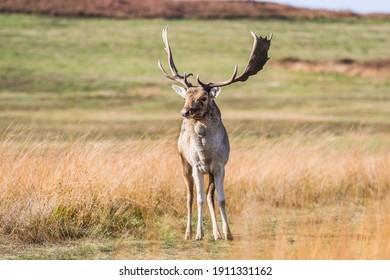Fallow Deer Buck walking to towards the photographer