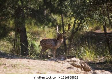 Fallow deer in Cazorla