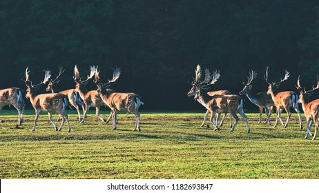 Fallow - fallow deer. (Dama dama ) Beautiful natural background with animals. Forest and sunset.