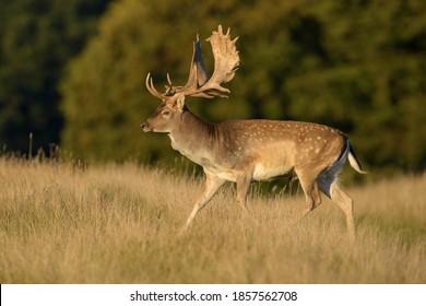 Fallow deer (Dama dama), buck in meadow, evening light, Zealand, Denmark