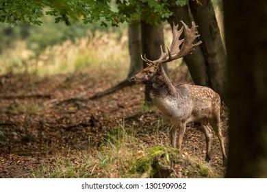 Fallow Deer (Dama Dama) buck wint nice antlers standing in the wood during rutting season