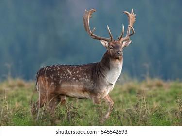 fallow deer, dama dama, czech republic