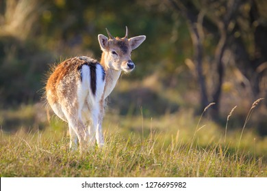 Fallow deer (Dama Dama) doe, hind or fawn in Autumn season. The Autumn fog and nature colors are clearly visible on the background.