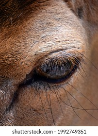 The fallow deer (Dama dama) eye is a ruminant mammal belonging to the family Cervidae. This common species is native to western Eurasia, - Shutterstock ID 1992749351