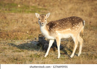 Fallow deer (Dama Dama) fawn in Autumn season. The Autumn fog and nature colors are clearly visible on the background.