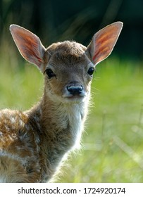 Fallow Deer (Dama dama) fawn in care at wildlife rescue centre.