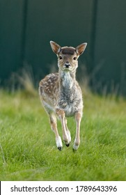 Fallow Deer Dama dama) Fawn in care at wildlife rescue centre.