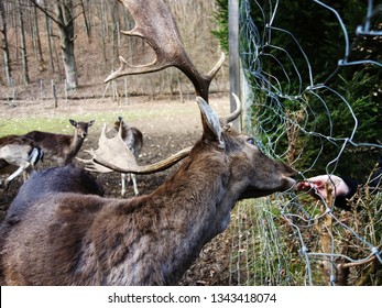 Fallow deer (dama dama) feeded by hand