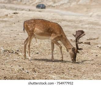 Fallow Deer Dama Dama grazing