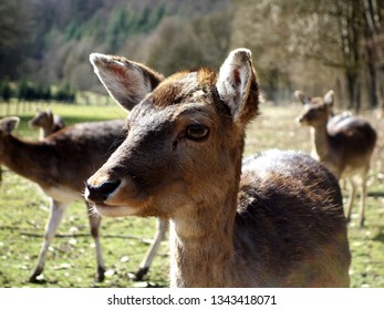 Fallow deer (dama dama) head with other deers in background
