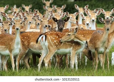 Fallow Deer (Dama dama) - including one black (melanistic) animal. UK.